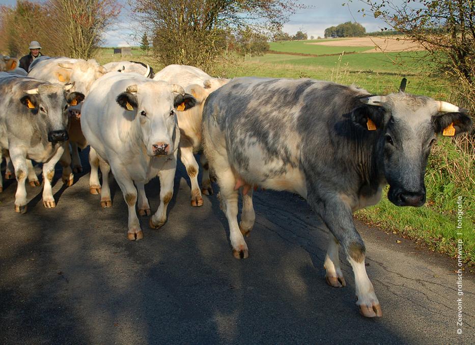Foto van kudde koeien op weg naar de wei, omgeving Libramont, Belgische Ardennen.