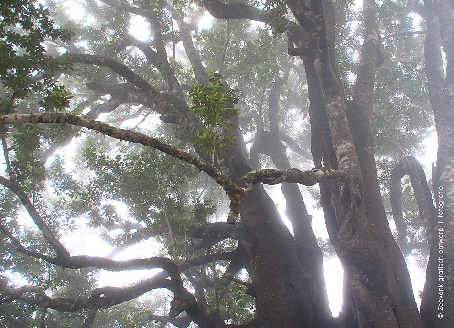 Foto van reuzenbomen in de mist, op Madeira.
